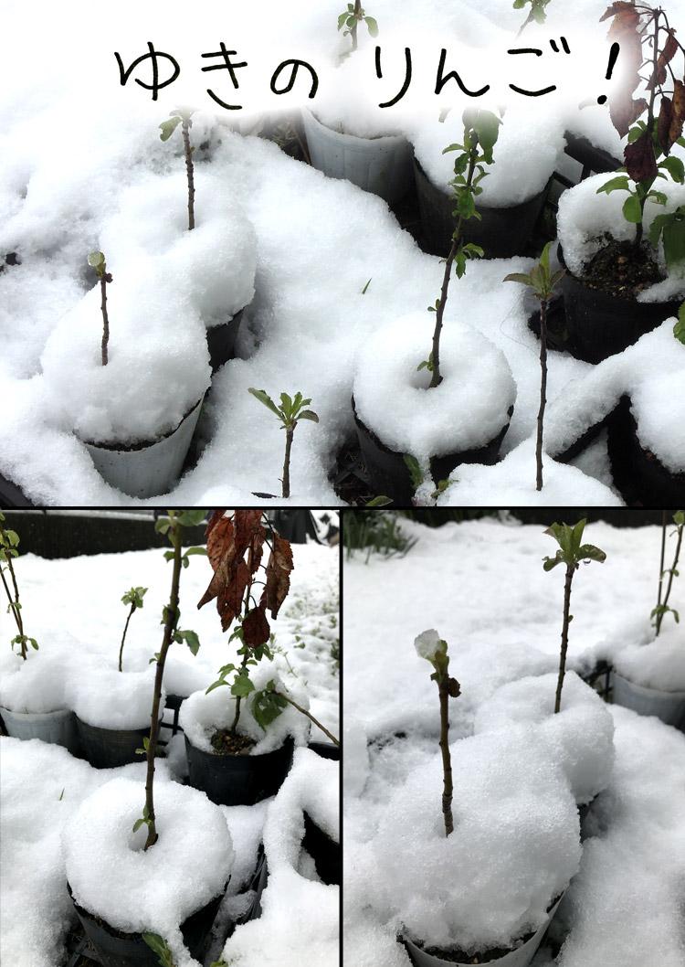 雪のりんご!